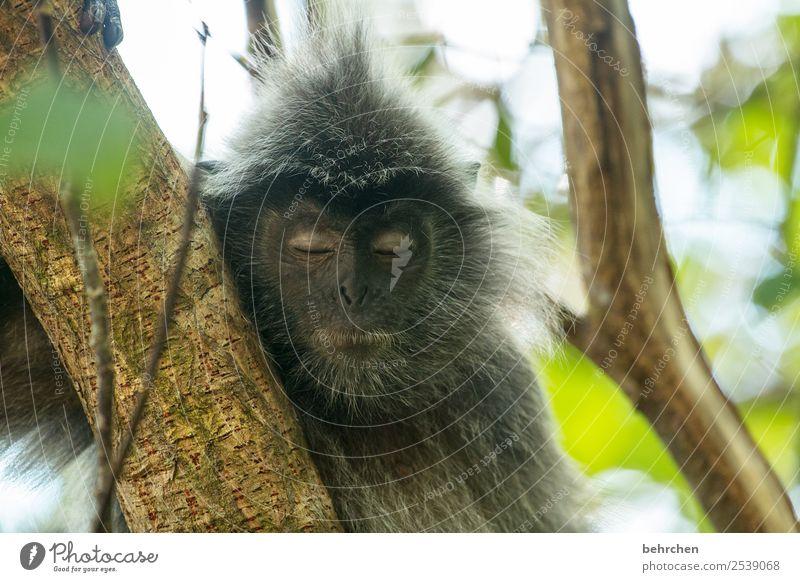 soooo müde Ferien & Urlaub & Reisen Tourismus Ausflug Abenteuer Ferne Freiheit Natur Pflanze Tier Baum Malaysia Borneo Sarawak bako nationalpark Asien Wildtier