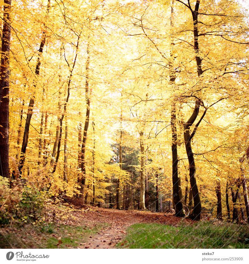 ewiger Herbst Wald Wege & Pfade braun gelb gold Vergänglichkeit Wandel & Veränderung Fußweg Laubwald Buchenwald Blätterdach Farbfoto Außenaufnahme Menschenleer