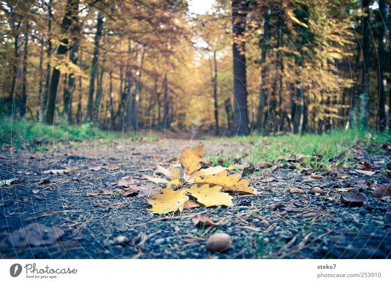 abgeworfen Blatt Wald gelb Herbst Wege & Pfade braun Boden Wandel & Veränderung Vergänglichkeit Fußweg Eicheln Eichenblatt