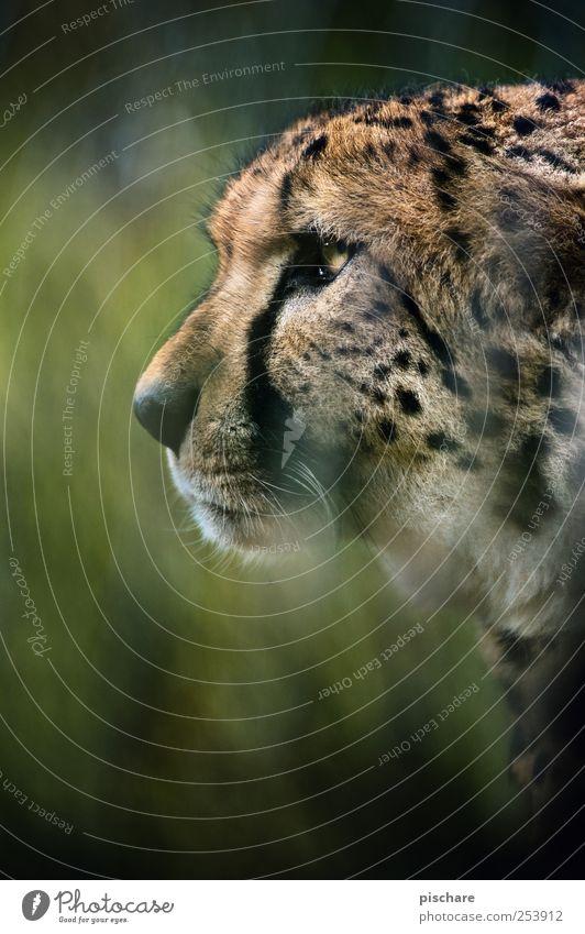 gestatten, carlitos Gras Tier Katze Tiergesicht Zoo beobachten Jagd Aggression ästhetisch wild Kraft Wachsamkeit exotisch Natur Gepard Farbfoto Außenaufnahme