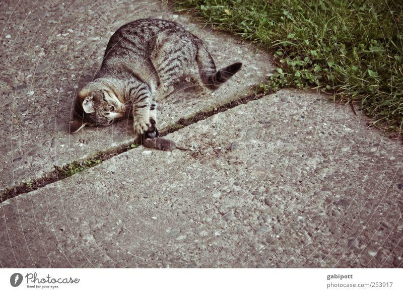 Jäger und Gejagte Natur Leben Tod Spielen Katze braun Tierpaar natürlich wild Wildtier kaputt retro Ende Fell fangen Gewalt
