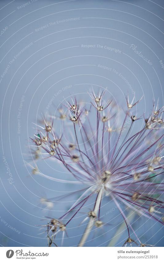 blumendingens Natur blau Pflanze Farbe natürlich Stern (Symbol) exotisch fein stachelig filigran Trockenblume