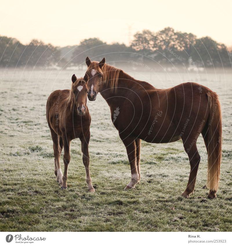 Pferde im Frühnebel II Natur Nebel Wiese Tier Haustier 2 Tierjunges beobachten authentisch natürlich schön Gefühle Farbfoto Außenaufnahme Menschenleer Morgen