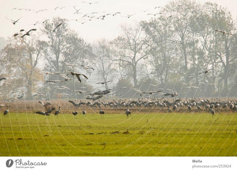 [Linum 1.0] Abflug Umwelt Natur Landschaft Tier Baum Wiese Feld Vogel Kranich Schwarm fliegen Fressen stehen frei Zusammensein natürlich viele grün Freiheit