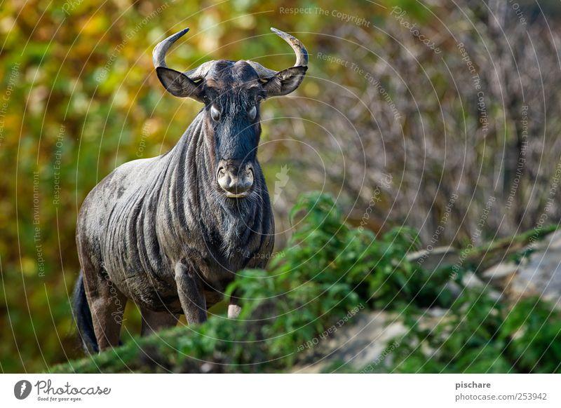 gestatten, steffne Natur Tier Kraft wild Wildtier beobachten Zoo exotisch Gnu
