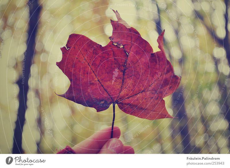 Herbstblatt. Frau Himmel Natur Pflanze Baum Hand rot Blatt Wald kalt Umwelt Herbst natürlich braun Park gold