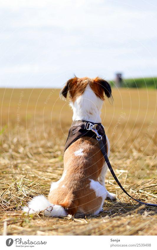 Hund, Haustier, Tier, Natur Einsamkeit ruhig Herbst braun Stimmung Horizont Feld gold sitzen Abenteuer Neugier Spaziergang Gelassenheit