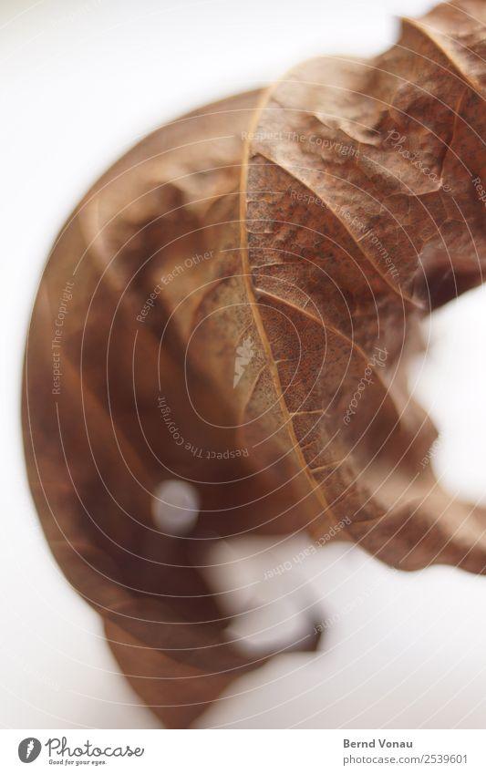 Herbst-Bild Blatt dünn trocken braun Tod Zeit Herbstlaub Totholz zerbrechlich zart Saison Jahreszeiten Farbfoto Innenaufnahme Studioaufnahme Strukturen & Formen