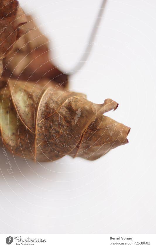 Herbst-Laub Blatt dünn trocken braun Tod Zeit Herbstlaub Totholz zerbrechlich zart Saison Jahreszeiten Farbfoto Innenaufnahme Studioaufnahme Strukturen & Formen