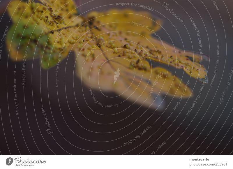 Blattpocken Umwelt Natur Herbst Schönes Wetter Pflanze Baum Grünpflanze Wildpflanze authentisch trocken gelb gold grau grün Farbfoto mehrfarbig Außenaufnahme