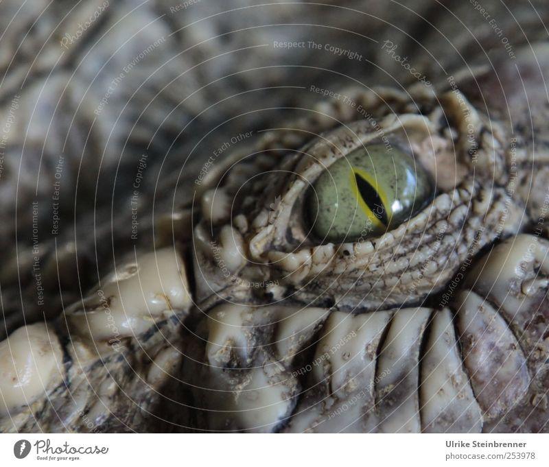 CU Tier Auge Wildtier glänzend wild gefährlich bedrohlich Neugier Wachsamkeit Momentaufnahme exotisch Aggression bewegungslos Pupille Panzer Echsen