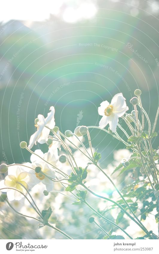 Alles Gute Pflanze grün schön Sommer weiß Blume Freude Umwelt Wiese Gras Glück Freundschaft Park ästhetisch Fröhlichkeit Blühend