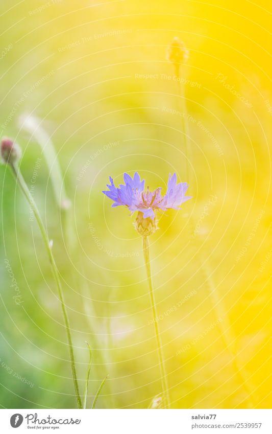 Transparenz Natur Pflanze Sommer Blume Blüte Wildpflanze Kornblume Feld Wärme weich blau gelb grün Duft Farbe Leichtigkeit durchsichtig Pastellton einzeln