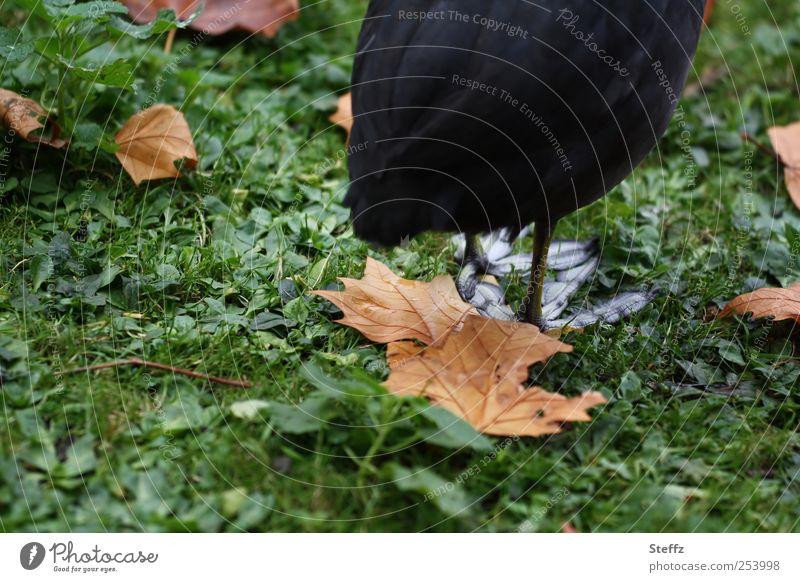 auf großem Fuß Natur grün Blatt Tier schwarz Herbst Gras Vogel Park stehen warten Tierfuß tierisch Hinterteil Herbstlaub herbstlich