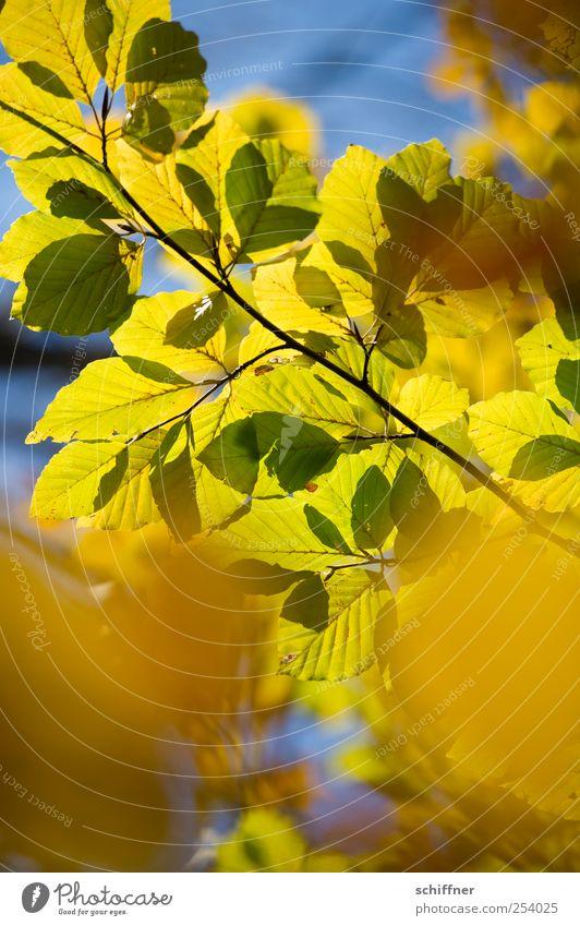 Farbrausch II Natur Pflanze Herbst Schönes Wetter Baum Blatt blau gelb gold grün Herbstlaub herbstlich Herbstfärbung Herbstwald Blattgrün Blätterdach Ast