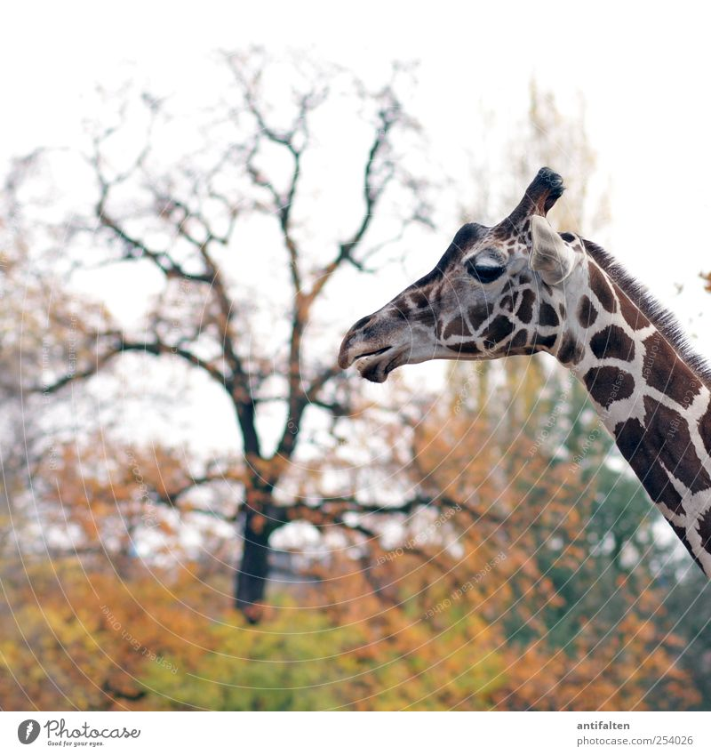 Herbst im Zoo Natur Tier Himmel Wetter Baum Blatt Park Wildtier Tiergesicht Fell Giraffe Berliner Zoo 1 stehen ästhetisch schön braun mehrfarbig gelb rot