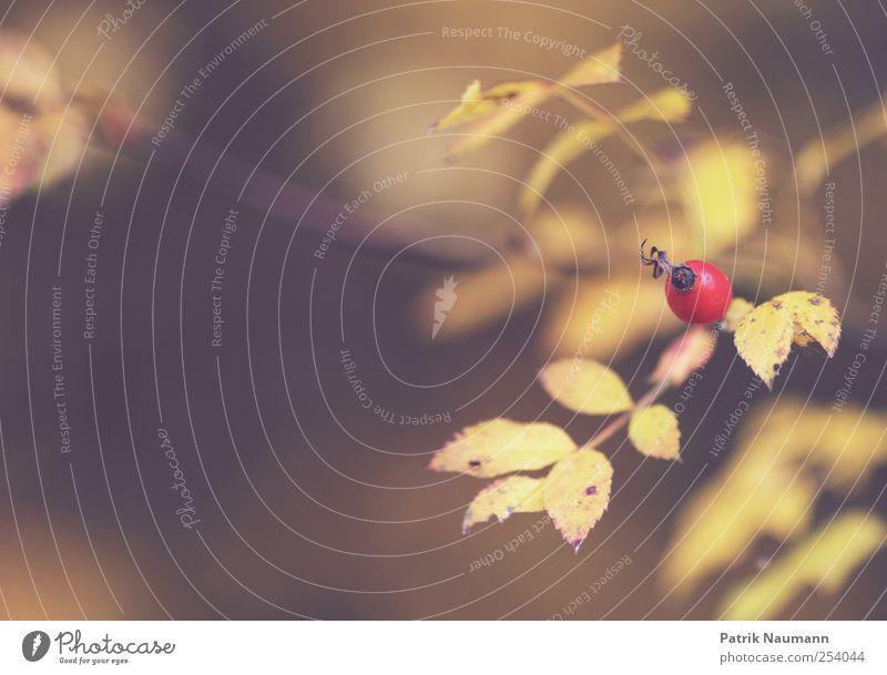 Rosa canina Natur Baum rot Pflanze Tier Blatt Einsamkeit Umwelt Herbst Holz Feld gold frisch Wachstum ästhetisch Ast