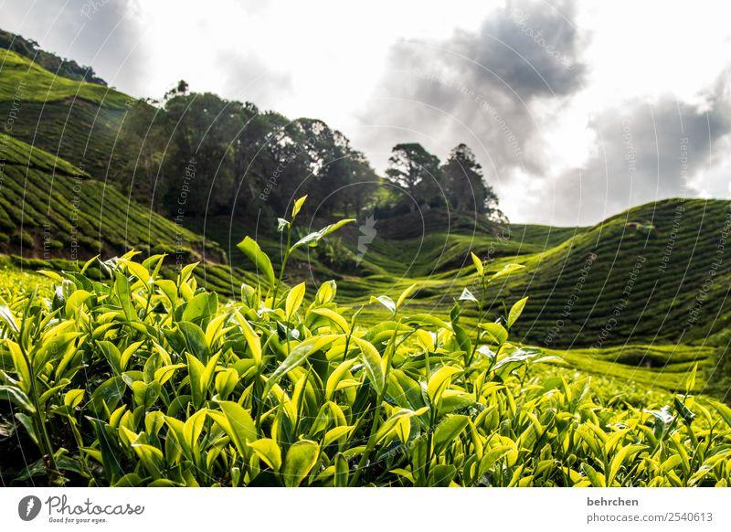 grün ja grün Ferien & Urlaub & Reisen Tourismus Ausflug Abenteuer Ferne Freiheit Natur Landschaft Himmel Wolken Pflanze Baum Sträucher Nutzpflanze Teepflanze