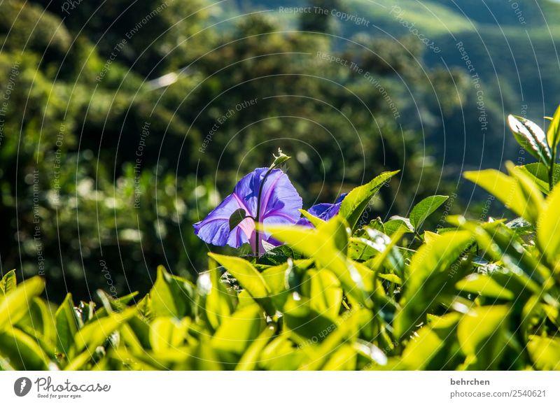 blühende cameron highlands Ferien & Urlaub & Reisen Tourismus Ausflug Abenteuer Ferne Freiheit Natur Landschaft Pflanze Blume Blatt Blüte Teepflanze Feld Urwald