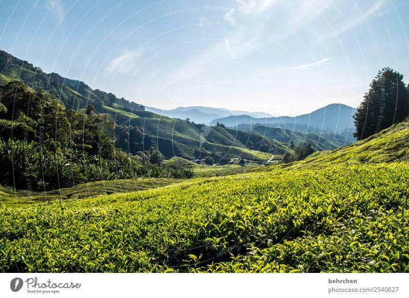 seelenwärmer Malaysia cameron highlands Tee Teepflanze Urwald Regenwald Ferne Fernweh reisen Ferien & Urlaub & Reisen Teeplantage weite Landschaft Kontrast