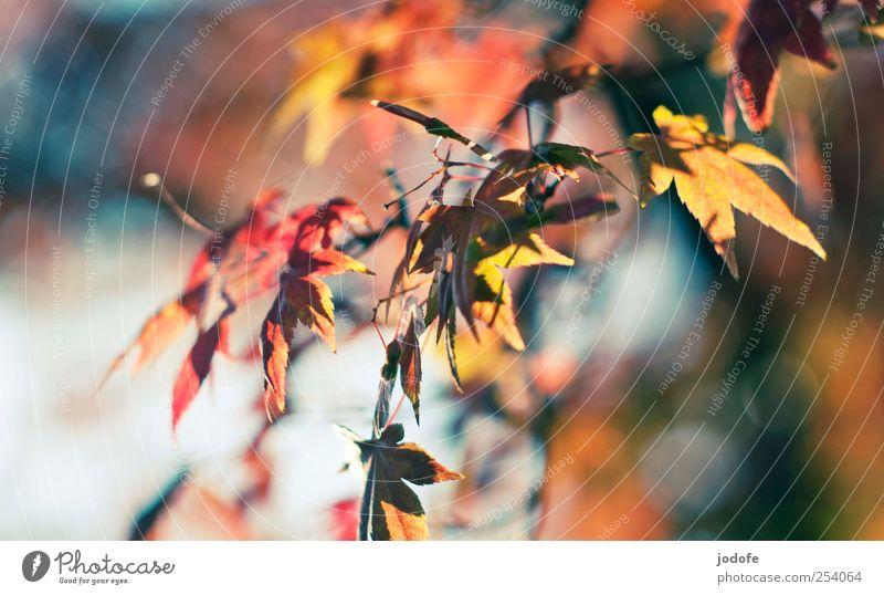 B@DD 11 | Momente Umwelt Natur Pflanze Herbst Schönes Wetter Baum mehrfarbig gelb rot Glück Fröhlichkeit Herbstlaub Blatt Ast Spiritualität Acer Ahorn Färbung