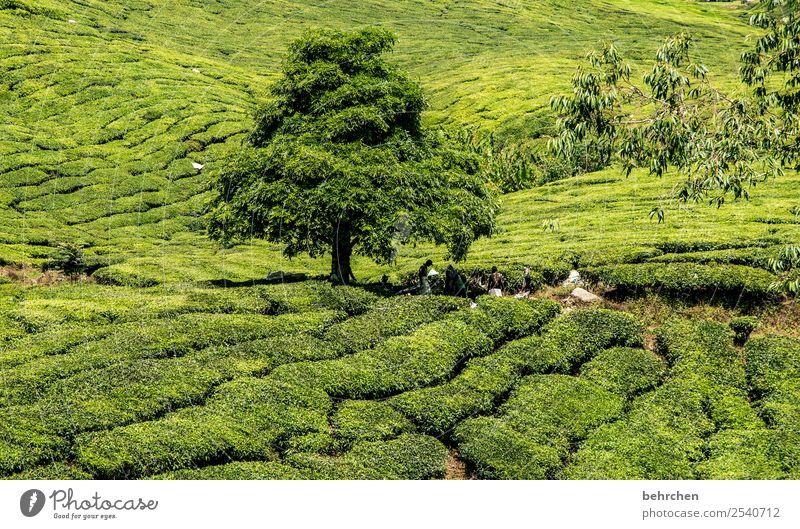 siesta Ferien & Urlaub & Reisen Tourismus Ausflug Abenteuer Ferne Freiheit Natur Landschaft Pflanze Baum Sträucher Blatt Nutzpflanze Teepflanze Teeplantage Feld