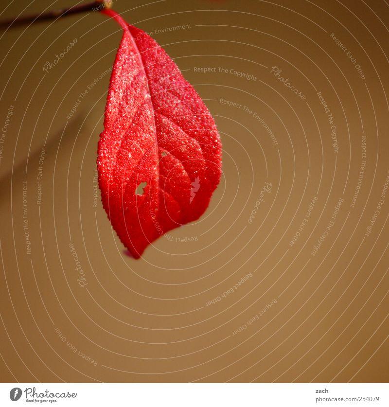 Der Sommer war sehr groß Natur Baum rot Pflanze Blatt Umwelt Herbst Holz braun Nebel Gold Ast Jahreszeiten Zweig hängen