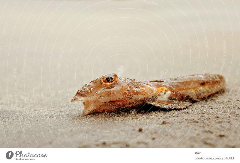 Wann kommt die Flut...? Natur rot Strand Tier Auge gelb Sand liegen Fisch Wildtier trocken Maul Flosse Totes Tier