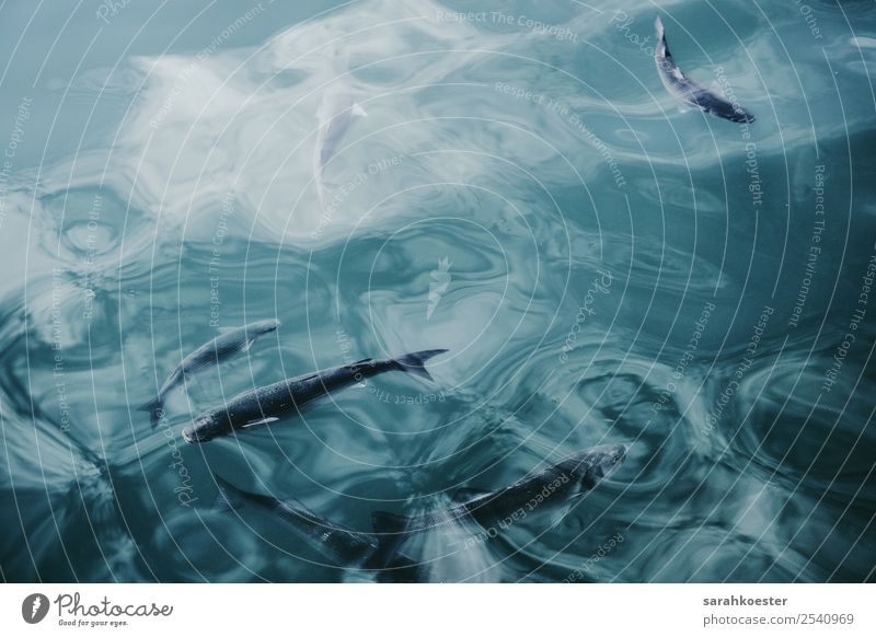 Fische schwimmen in glasklarem Wasser Natur Tier Wellen Seeufer Riff Nordsee Ostsee Meer Wildtier Aquarium Tiergruppe Schwimmen & Baden tauchen authentisch frei