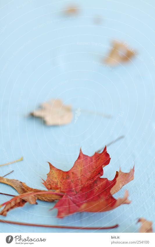 Blätter II [CHAMANSÜLZ] Natur blau Pflanze rot Blatt Herbst Umwelt liegen natürlich Klima Wandel & Veränderung Stoff Vergänglichkeit trocken Stengel Herbstlaub