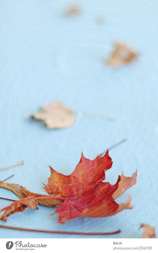 Blätter II [CHAMANSÜLZ] Umwelt Natur Pflanze Herbst Blatt Grünpflanze liegen dehydrieren natürlich trocken blau rot Klima Vergänglichkeit Wandel & Veränderung