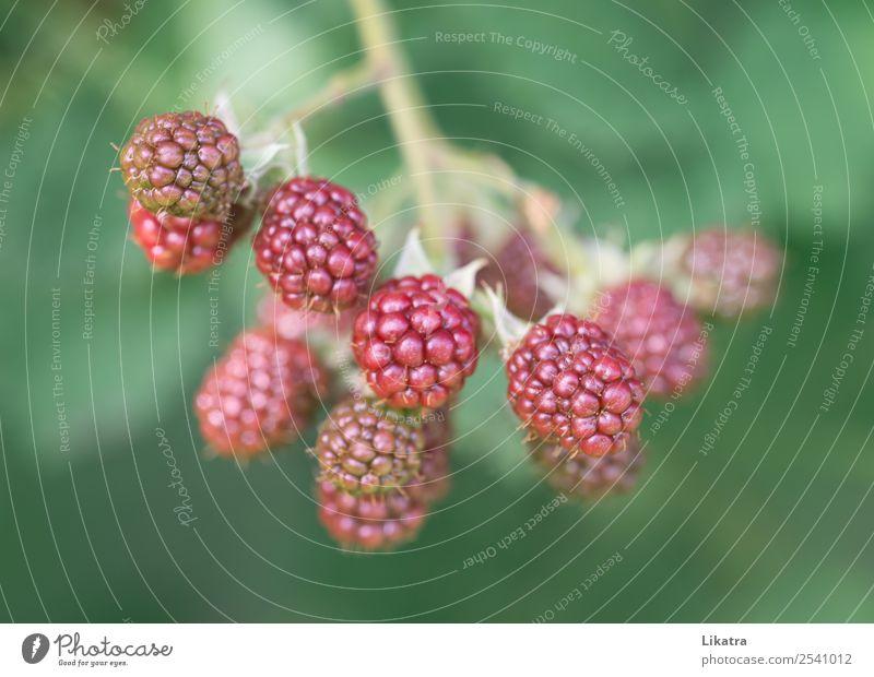 Bombeeren Lebensmittel Frucht Ernährung Bioprodukte Vegetarische Ernährung Gartenarbeit Natur Pflanze Sommer Nutzpflanze Gesundheit grün rot Beeren unreif