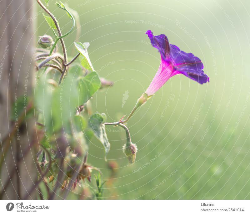 Gartentraum Sommer Natur Pflanze Schönes Wetter Blume Blüte Kletterpflanzen Trichterwinde Blühend schön grün violett rosa Kraft einzigartig Morgendämmerung