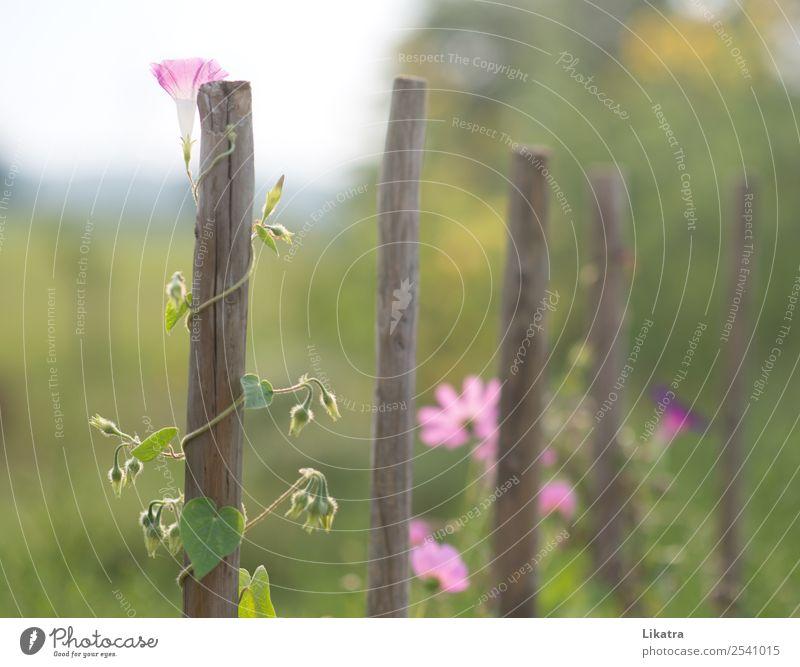 Gartentraum Natur Sommer Pflanze schön grün Blume Blüte natürlich rosa wild Wachstum Kraft Erfolg Schönes Wetter Blühend