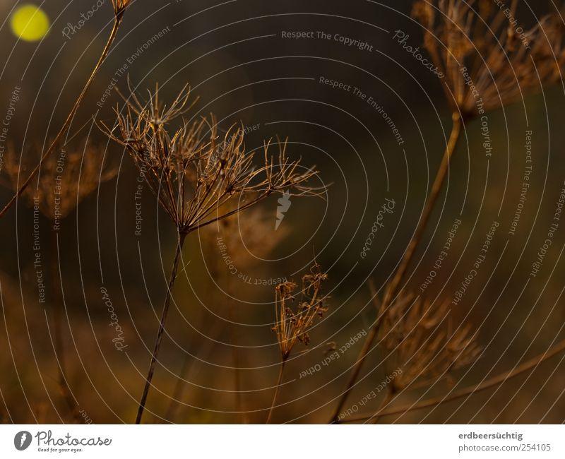lichtgepunktetes trockenes Blütenstanddingens Natur Sonnenaufgang Sonnenuntergang Herbst Schönes Wetter Pflanze Gras Sträucher Wildpflanze Stengel Feld leuchten
