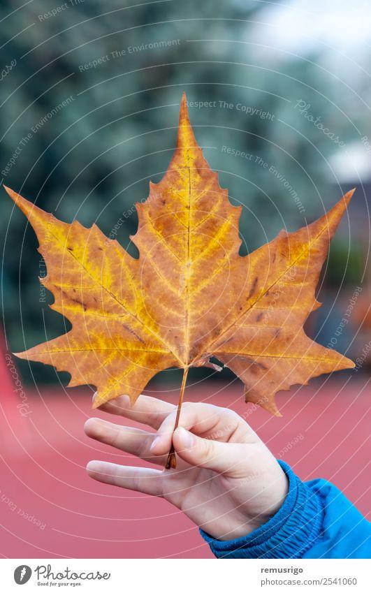 Hand hält ein Blatt fest Natur Pflanze Herbst Wetter Regen Baum Park Farbe Rumänien Timisoara Jahreszeiten Frühling Konsistenz Farbfoto Außenaufnahme
