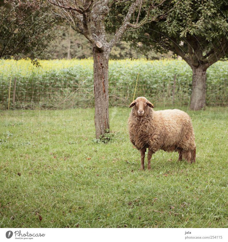 else Umwelt Natur Pflanze Herbst Baum Gras Grünpflanze Nutzpflanze Tier Nutztier Schaf 1 stehen Weide Farbfoto Außenaufnahme Menschenleer Textfreiraum links