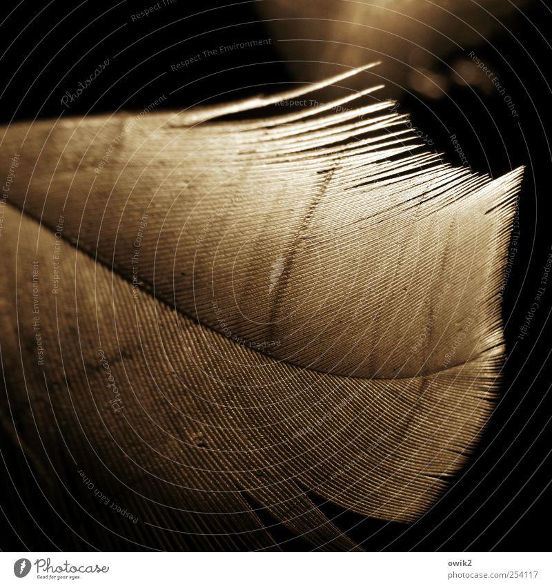 Goldfeder Stil klein natürlich hell Linie glänzend elegant leuchten Design Dekoration & Verzierung ästhetisch Feder weich dünn fest Zusammenhalt