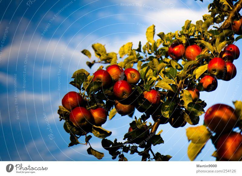 Reiche Ernte Natur blau grün Baum rot Gesundheit Frucht natürlich Lebensmittel Ernährung Apfel genießen Übergewicht Bioprodukte saftig Vegetarische Ernährung