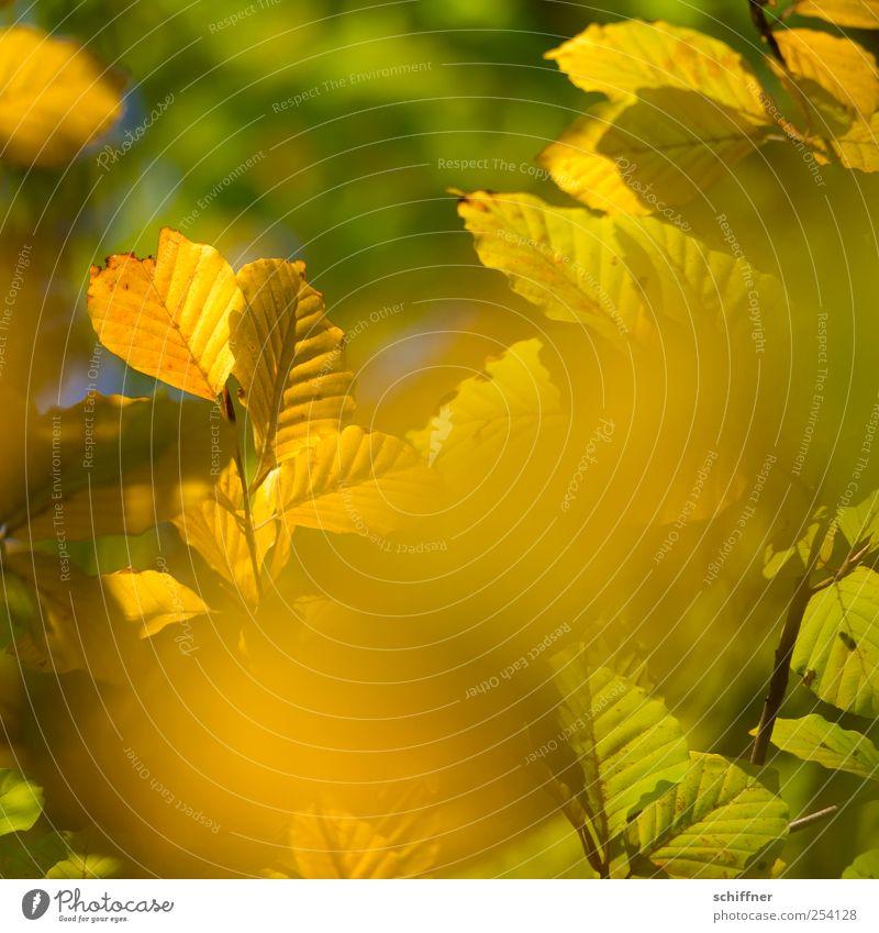 Farbrausch III Natur grün Pflanze Farbe Blatt gelb Herbst gold leuchten Schönes Wetter Ast Herbstlaub herbstlich Herbstfärbung Blätterdach Herbstwald