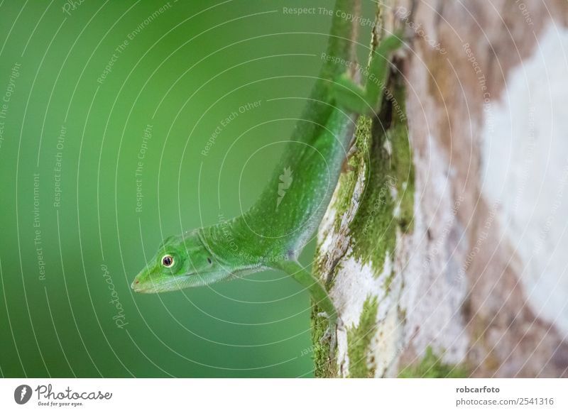Grüne Eidechse im Punta Cahuita Nationalpark schön Haut Gesicht Leben Sommer Mann Erwachsene Umwelt Natur Pflanze Tier Baum Wald Lächeln hell klein wild grün
