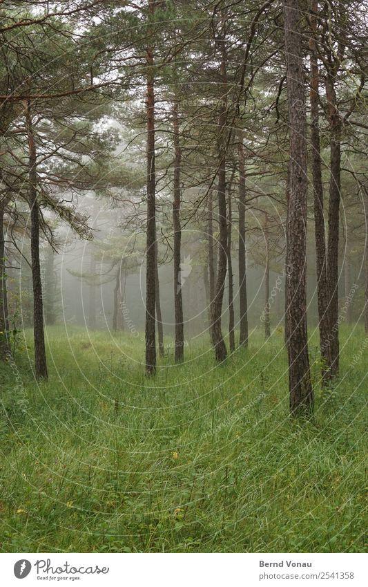 Neblige Bäume im Wald und kalt Umwelt Natur Landschaft Herbst Nebel Baum Stimmung ruhig authentisch grün Gras Kiefer hoch vereinzelt Idylle tief Perspektive
