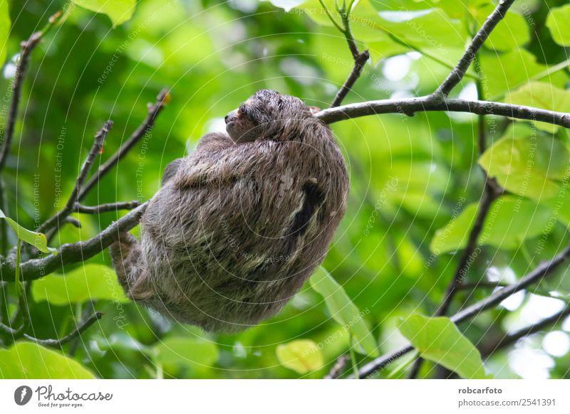 Fauler Bär in Punta Cahuita Klettern Bergsteigen Baby Tier Baum Wald Urwald Pelzmantel schlafen niedlich braun grün Faultiere Rippen Rica amerika tropisch