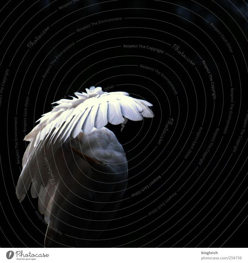 Flügelschatten Tier Vogel Feder Schnabel 1 schwarz weiß elegant Schutz Schatten Engel Farbfoto Gedeckte Farben Außenaufnahme Menschenleer Textfreiraum rechts