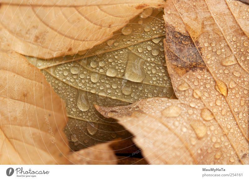Tropfen von Blättern Natur Pflanze Urelemente Wasser Wassertropfen Wolken Herbst Klima schlechtes Wetter Regen Baum Blatt Wildpflanze Garten Park Abenteuer
