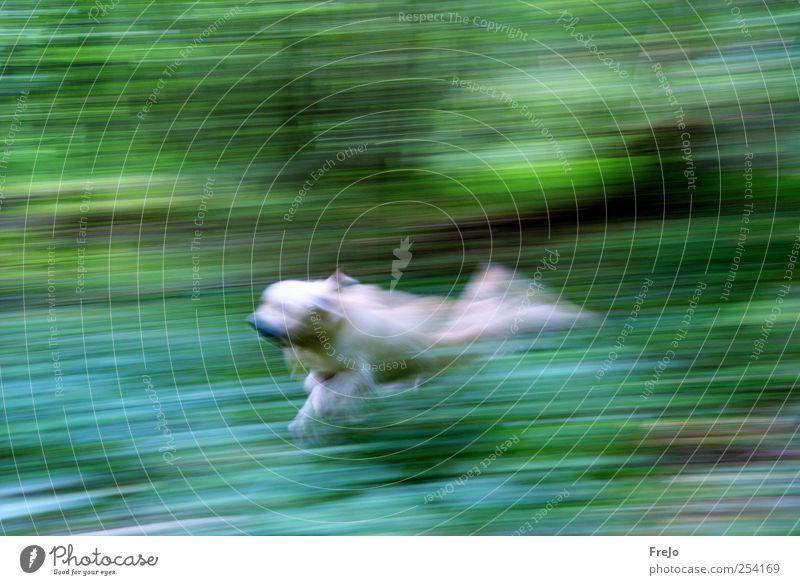 dog on the run Haustier Hund 1 Tier Bewegung laufen springen grün Kraft Ausdauer Golden Retriever Farbfoto Experiment Tag