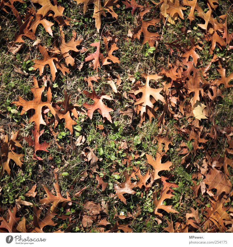 laub Natur Pflanze Blatt Wiese braun Herbstlaub Gras Waldboden Farbfoto Nahaufnahme Menschenleer Tag Licht Schatten Kontrast herbstlich Herbstfärbung