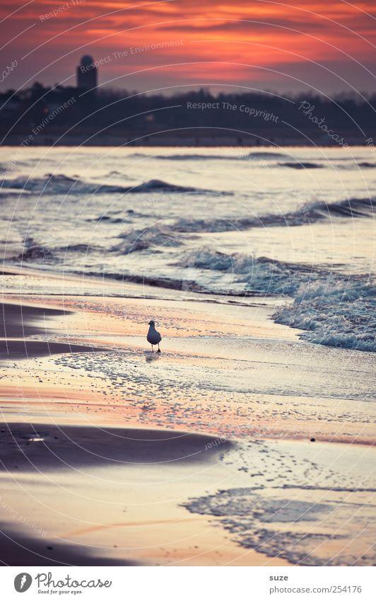 Abendspaziergang Umwelt Natur Landschaft Urelemente Sand Wasser Himmel Wetter Wellen Küste Strand Ostsee Meer Tier Wildtier Vogel Möwe 1 laufen authentisch