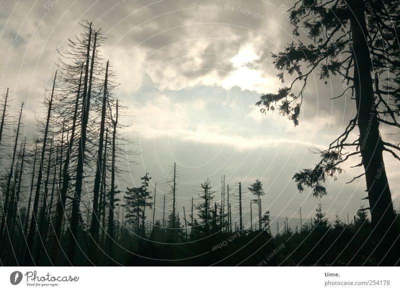 Showdown Umwelt Natur Landschaft Pflanze Himmel Wolken Gewitterwolken Sonnenlicht Wetter Baum Wald dunkel Einsamkeit Endzeitstimmung Vergänglichkeit Tanne