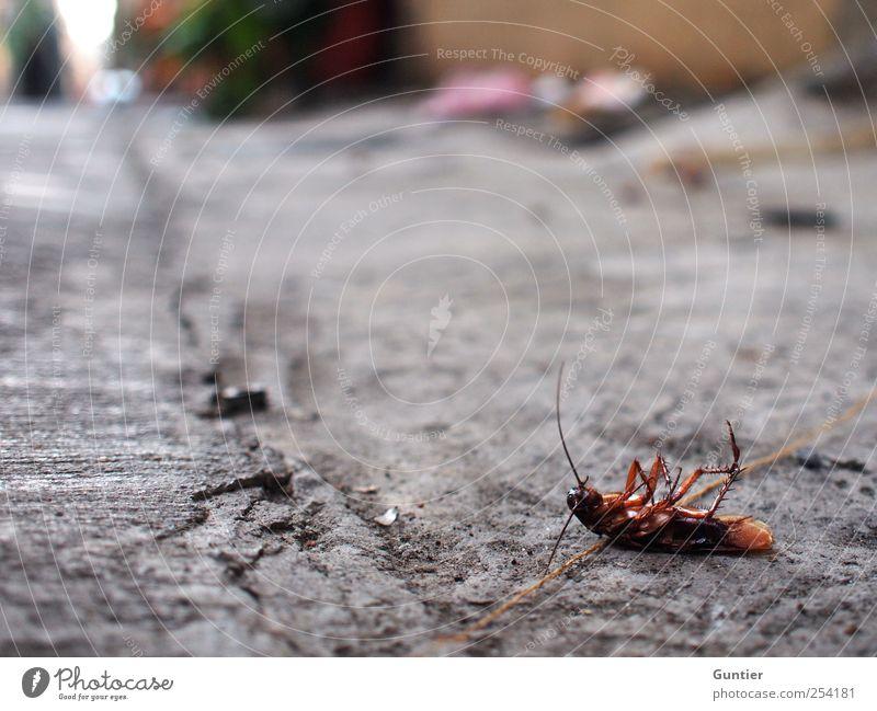 drunken cockroach Tier Totes Tier 1 braun grau schwarz Straße Straßenbelag Gemeine Küchenschabe Tod Insekt Fühler Beine Ekel Asien Farbfoto mehrfarbig
